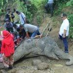 Neneng, seekor gajah betina berusia 55 tahun yang selama ini menjadi salah satu penghuni Medan Zoo meninggal, Sabtu (25/1/2020). (ist)