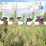 Kegiatan Panen Raya di Kecamatan Rawang Panca Arga, Senin (16/3/2020).