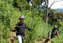 Pemusnahan ladang ganja dipimpin Kepala BNNP Sumut Brigjend Pol Atrial, Rabu (10/6/2020)