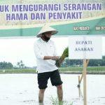 Surya melakukan penanaman padi serentak di Desa Serdang, Kecamatan Meranti, Kabupaten Asahan.