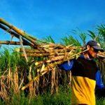 Harga Gula di Tingkat Petani Tebu Alami Penurunan Akibat Import